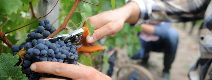 Le fruitpicking est très répandu pour ceux qui partent en Working Holiday.
